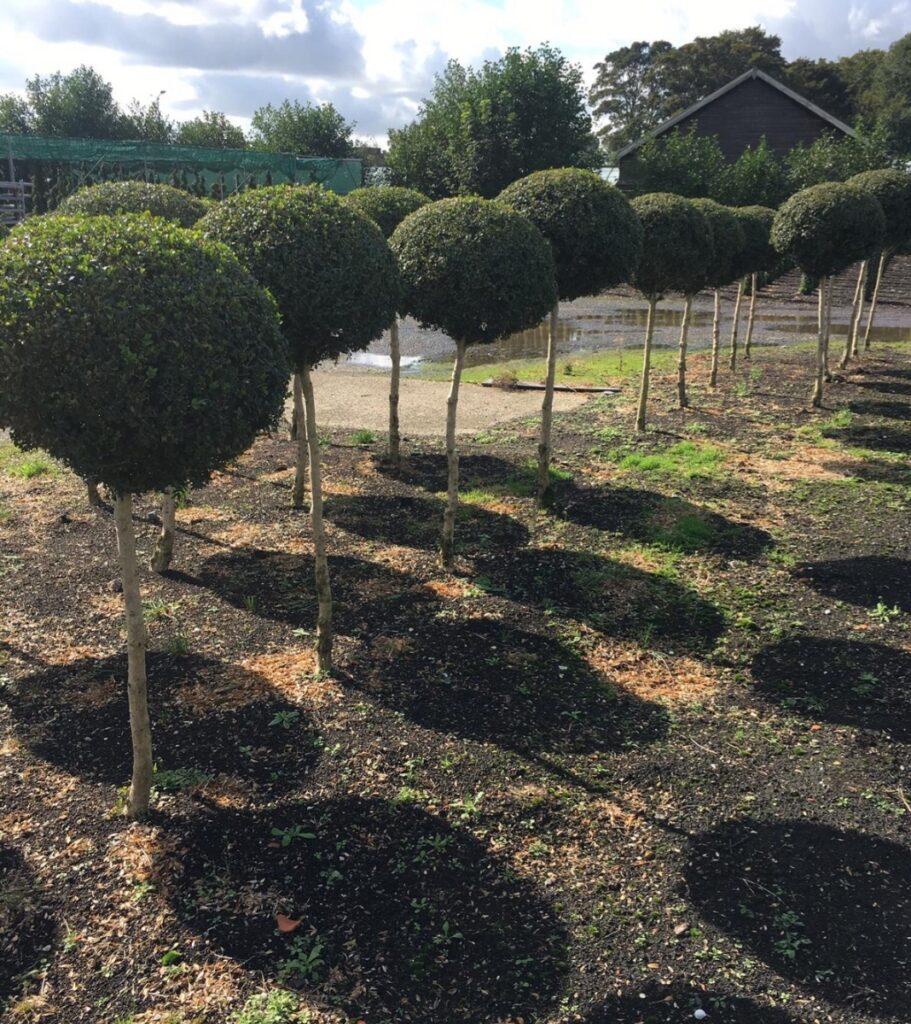 Lollipop & Standard Trees
